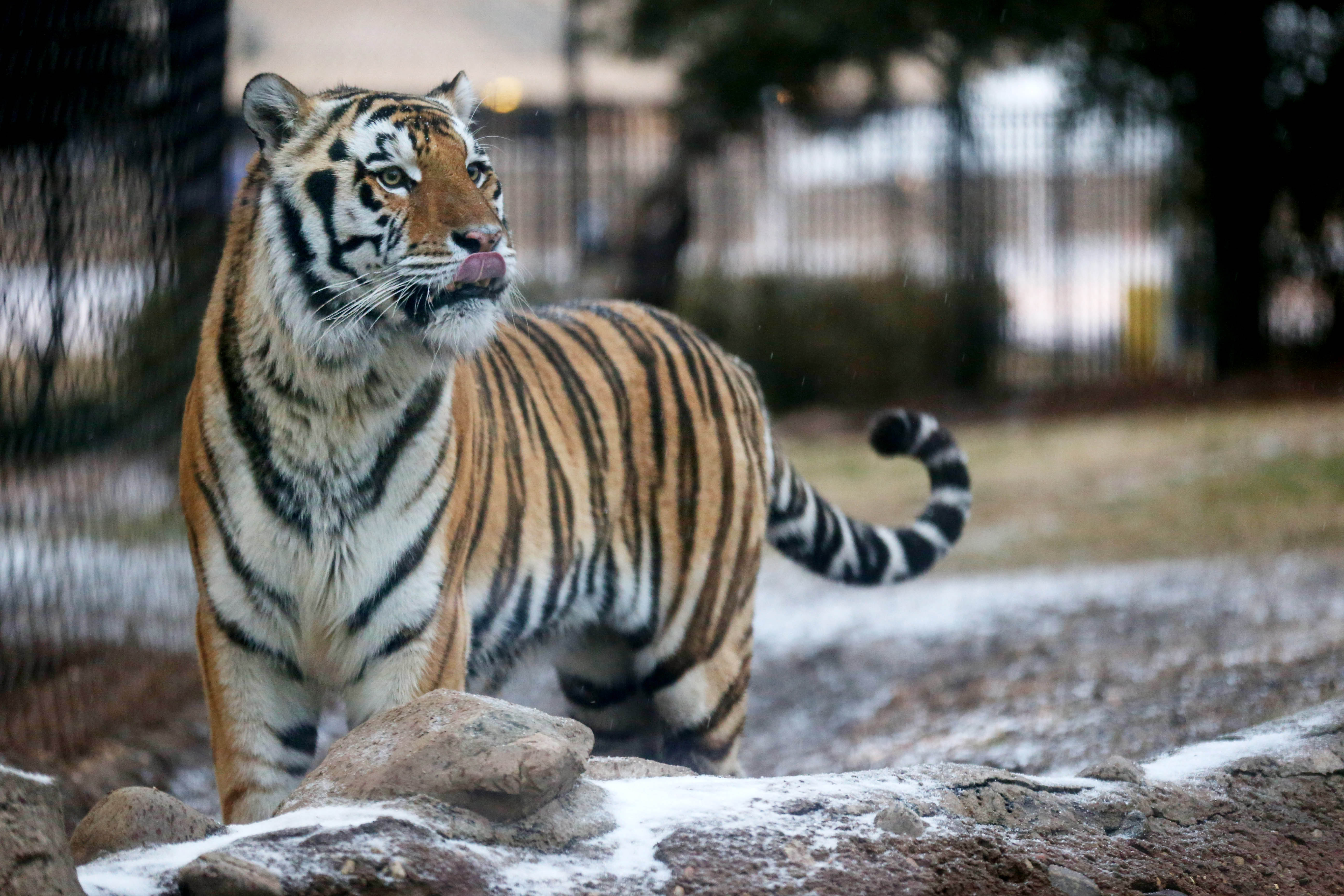 Photo Lsu S Mike The Tiger Gets Meat Cake On 10th Birthday