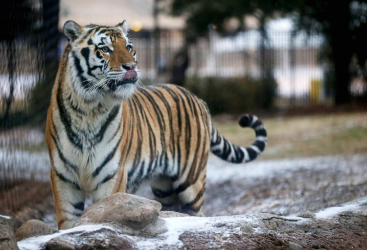 LSU releases photo of tiger who could become school's newest mascot